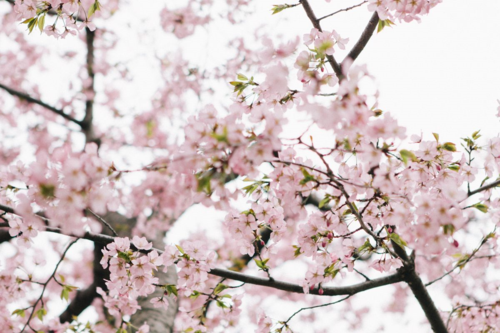 DC Cherry Blossoms | Our Sweet Somewhere